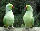 【ニコニコ動画】本当に会話してるような2羽のオウムを解析してみた