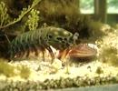 【捕食動画】 キックで殻を割って貝を食べるモンハナシャコ