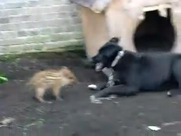 飼い犬に何度も突撃するうり坊がカワイイ