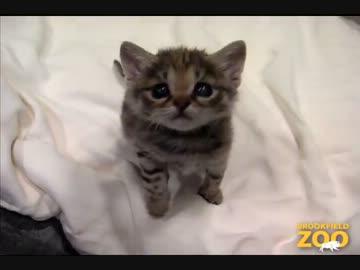 最も小さい猫の一つ 「クロアシネコ」 の赤ちゃん