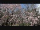 【軽量版】桜の京都【2012/4/15】