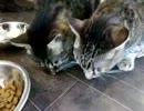 何故か皿から出して食べる猫ちゃん