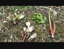 【自然を食べよう!】春の山菜炊き込みご