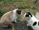 猫の喧嘩【喋ってる】 thumbnail