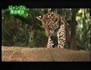 密林の王者ジャガー vs ジャングルの最強軍団グンタイアリ