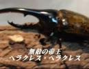【虫バトル】ヘラクレスオオカブト VS コーカサスオオカブト