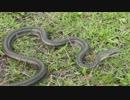 【ニコニコ動画】里山で両生類、爬虫類を探す!後編【やどけん!】を解析してみた