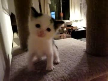 傾きながらにーにー返事する子猫