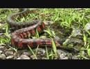 【ニコニコ動画】東京の里山で生き物探し【やどけん!】を解析してみた