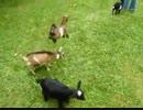 【ニコニコ動画】やんちゃすぎる子ヤギの跳び蹴りwwwwwwwwwを解析してみた