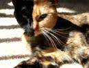 顔の柄が真っ二つの猫