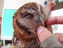 【ニコニコ動画】フクロウをグルーミングを解析してみた