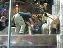 【ニコニコ動画】人間を襲うオスライオン、それを止めるメスライオンを解析してみた