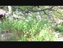【藤井厳喜ビデオ・エッセイ】向島百花園の秋―萩のトンネル