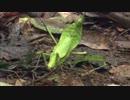 【ニコニコ動画】巨大昆虫の世界 ~密林に幻の黄金クワガタを追う~ (02 of 04)を解析してみた