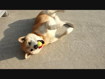 無抵抗に甘える柴犬が最高にかわいい