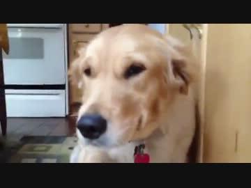 物を壊し罪悪感に苛まれる犬www