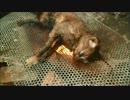 第88位:【グロ注意】南米の猫肉料理 thumbnail