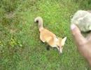 【ニコニコ動画】完全にペットになってしまったキツネを解析してみた
