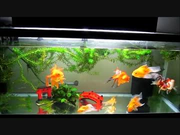 金魚 水槽 立ち 上げ