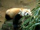 寝そべってるレッサーパンダ(多摩動物園にて)