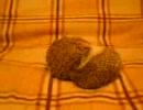 【ニコニコ動画】ハリネズミの性生活を解析してみた