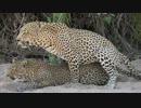 【ニコニコ動画】豹の交尾を解析してみた