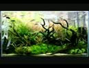 第47位:【2013】世界水草レイアウトコンテストに挑戦するぞ!【PART2】 thumbnail