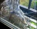 【ニコニコ動画】窓辺の鳩さん - 産卵から孵化、巣立ちを解析してみた