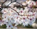 【新唐人】パッと咲いてパッと散る桜 「瞬間」の品格