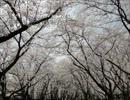 第17位:桜 2013年 thumbnail