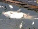 【新唐人】上海 今度は大量の魚の死骸