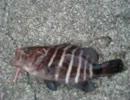 【ニコニコ動画】イカ焼きみたいな魚が釣れたを解析してみた