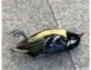 【新唐人】河北で飛び交うH7N9型感染例 北京では至る所に鳥の死骸