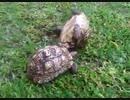 ひっくり返った友達亀を助ける亀