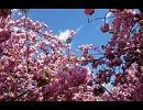 [フルートとピアノで]八重の桜 ほのぼの曲[演奏してみた]