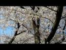【ニコニコ動画】山形市霞城公園の桜1.wmvを解析してみた