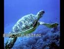 第75位:ゆっくり動物雑学「産卵時にウミガメが涙を流すのは…」 thumbnail