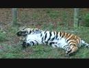 【ニコニコ動画】トラの放尿プレーを解析してみた