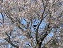 桜と飛び移るカラスEX-F1