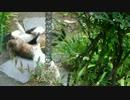 【ニコニコ動画】激しい猫レスリング!寝技攻防とレフェリー参戦を解析してみた