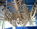 クジラの骨の中に入れる東京海洋大学 水産資料館はスゲェェー☆