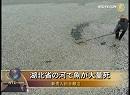 【新唐人】湖北省の河で魚が大量死