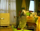 【ニコニコ動画】ヨウム バズくんのおしゃべり おかあさんといっしょ「せいろ」を解析してみた