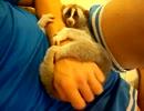 【ニコニコ動画】ぬいぐるみを生き物と勘違いして本気でビビるスローロリスを解析してみた