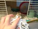 巣作りスナネズミ