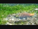 【ニコニコ動画】釣りキチがヒメマスの産卵を覗きに秋の中禅寺湖へ突撃してきたを解析してみた