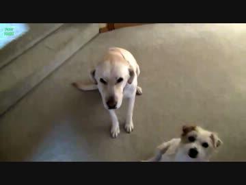 いたずらがバレた犬達の反応