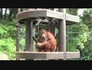 福岡市動物園:ナイスキャッチ!オランウータンの食事の様子です!