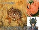 【ニコニコ動画】ゆっくり動物雑学「スベスベマンジュウガニがいる…」を解析してみた